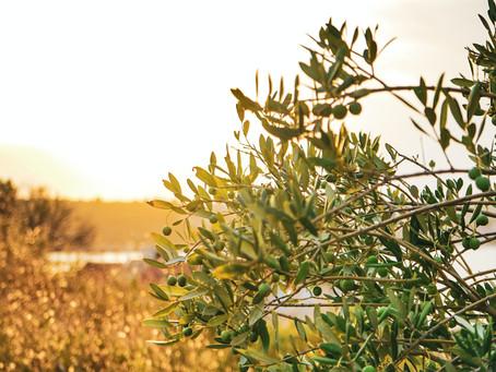 Olive consciente