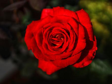 Roses in February??