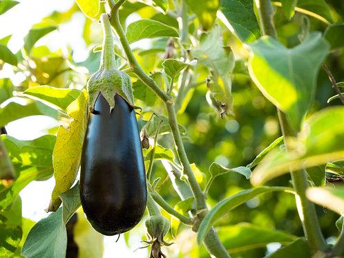 Plant d'Aubergine bio