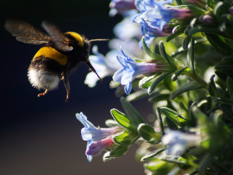 Bumble bees are plant bullies