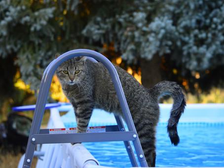 Kucing Tidak Sepenuhnya Benci Air, Inilah Penjelasannya!