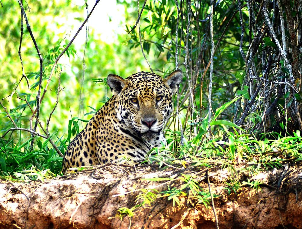 Jaguaro del Pantanal