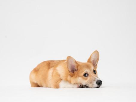 Ciri- Ciri dan Jenis Cacing yang Menyerang Anjing