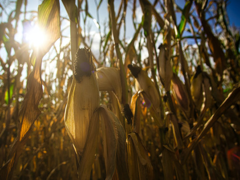 Buckler Lab team develops the HARE method to improve genomic prediction accuracy in maize