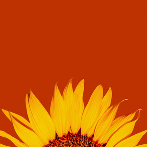 Sunflowers by Carmen Catena