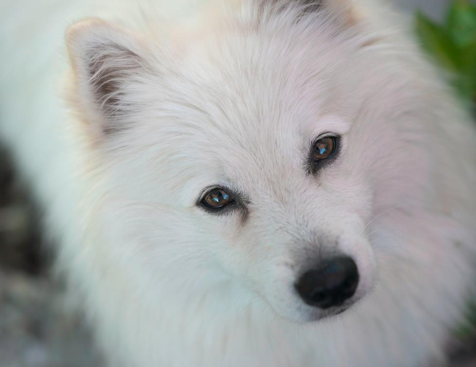 Gorgeous White Pomeranian