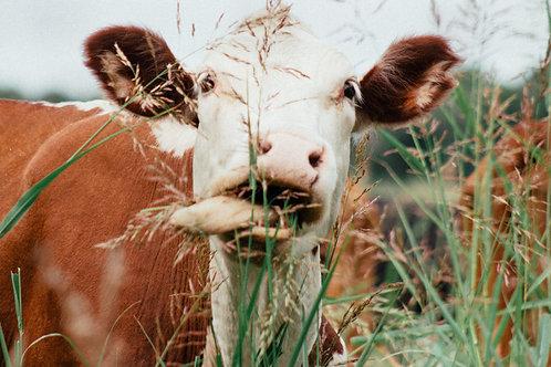 Africa (Malawi/Zambia) - Cow (1 Part)
