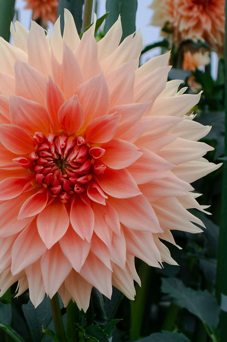 A zoomed in photo of a dahlia, with light pink petals on the outside transitioning to a deep orange-red hue in the center.