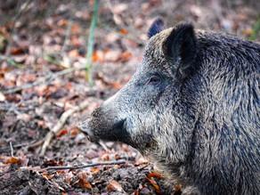 Ag Commissioner Andy Gipson Announces Next Wild Hog Control Program Application Period