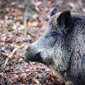 Ag Commissioner Andy Gipson Announces Next Wild Hog Control Program Application Period