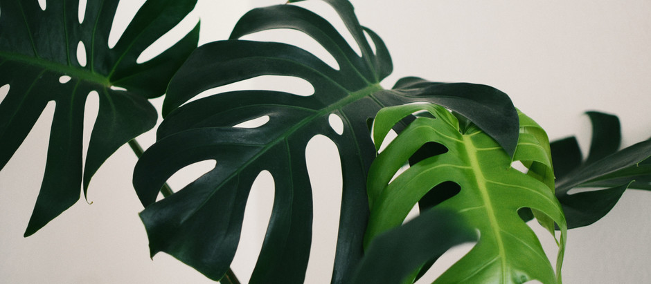 Monstera Deliciosa – Repotting in Vulcastrat & Installing Moss Pole