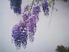 The top 7 secret spots for wisteria hysteria in London