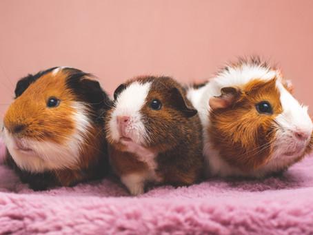 Vitamin C-Mangel: Meerschweinchen
