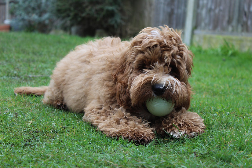 Poodle dog with ball in his mouth