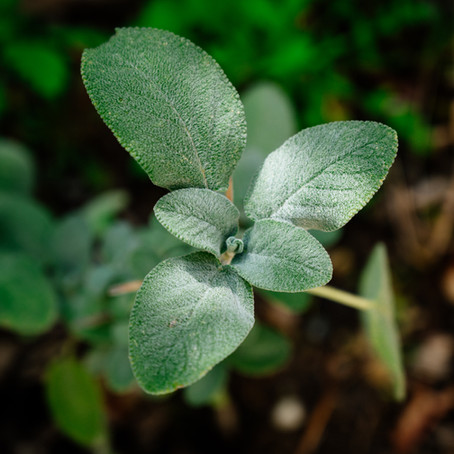 Sage for perimenopause and beyond