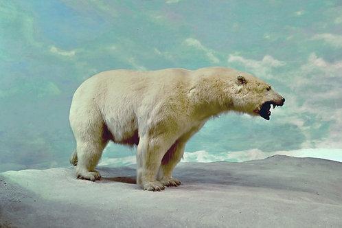 Polar Bears Aren't White?
