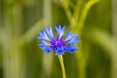 Lot de 2 plants de bleuet bio en godet