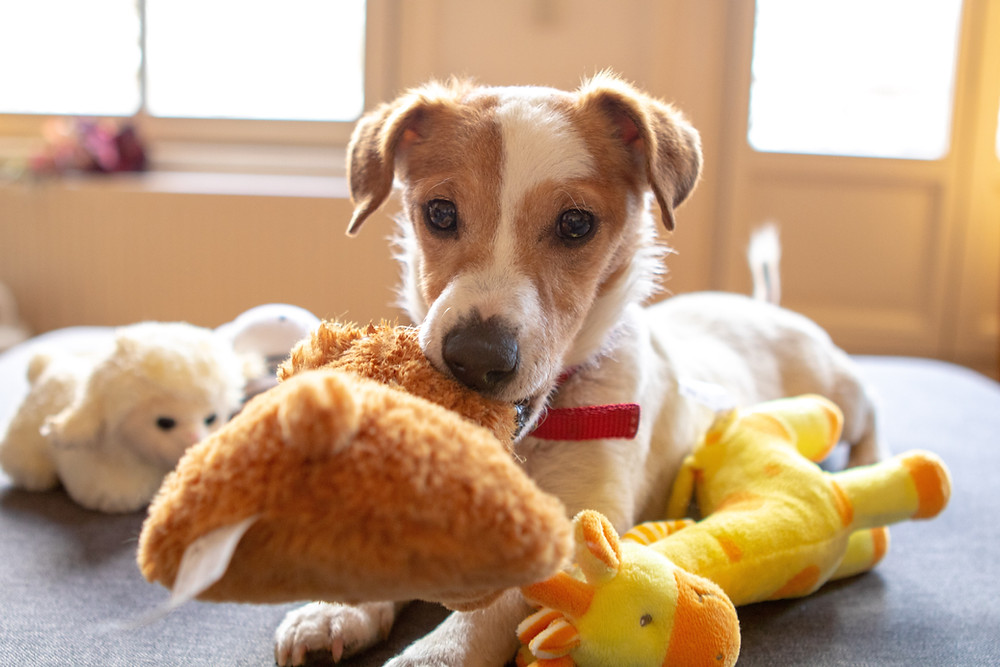 terrier with soft toys
