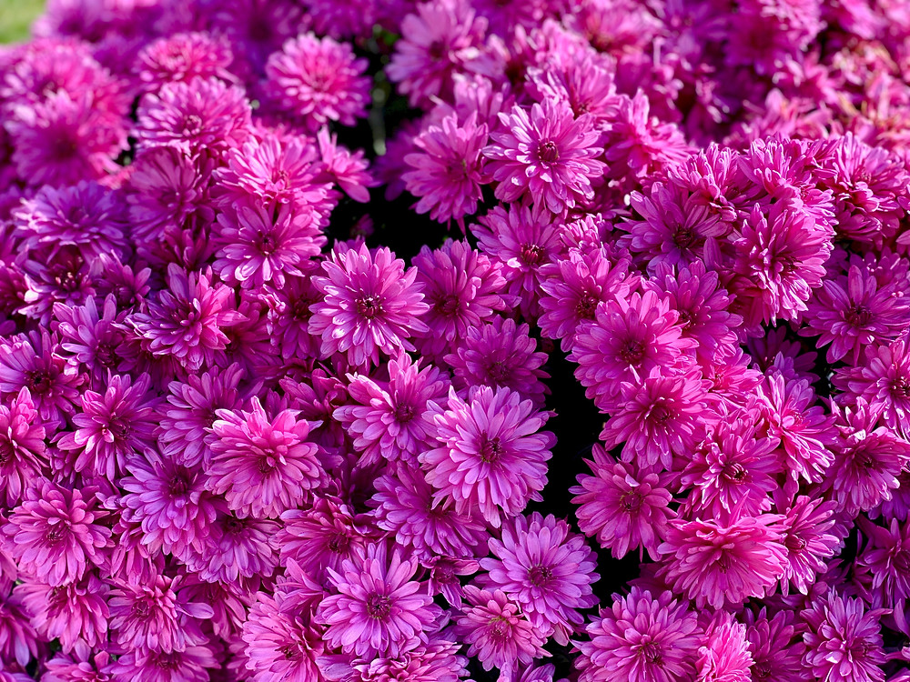 Aster is a natural source of fenchol terpenes