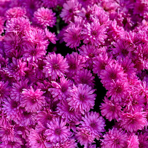 How to Grow China Asters