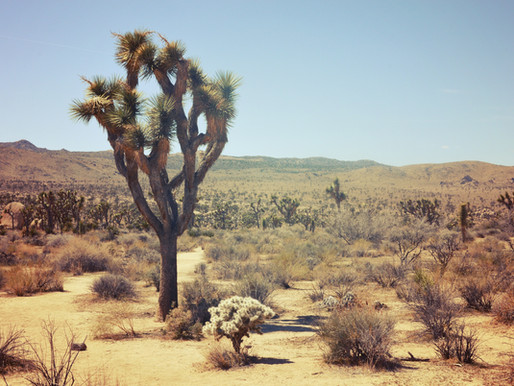 Extended Statement on JTGAR's Position on the Joshua Tree Threatened Species Petition