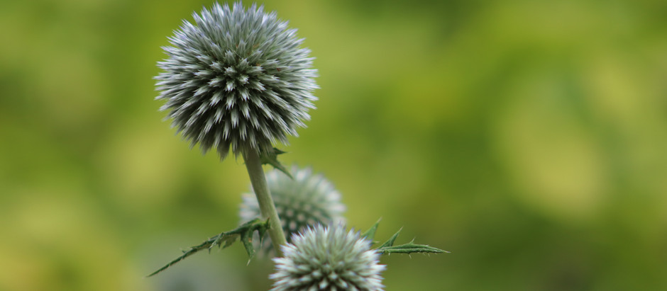 How to Grow Blessed Thistle From Seeds