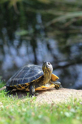 Yellow bellied slider turtle outside