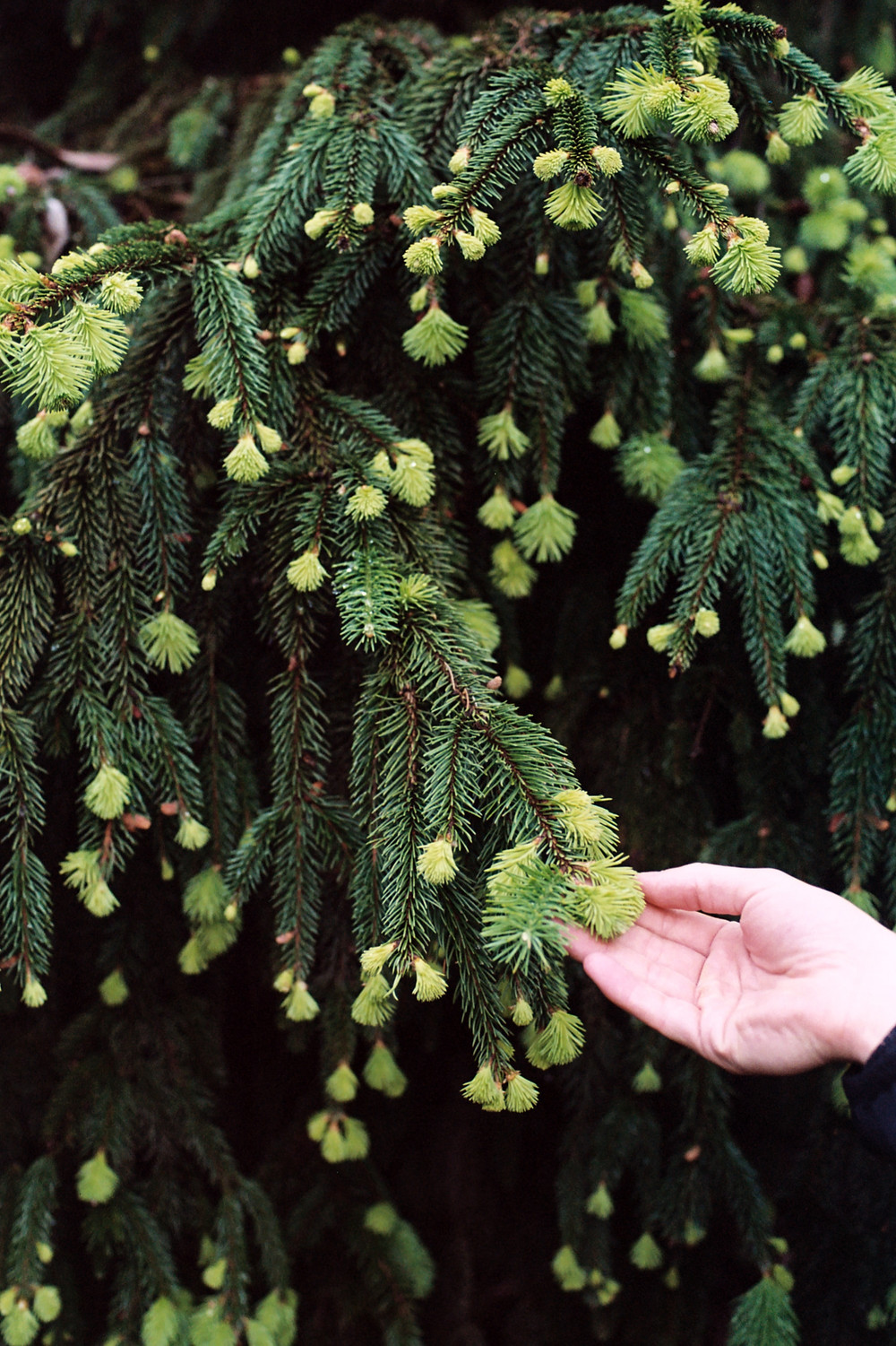 guaiol terpenes can be found in pine trees