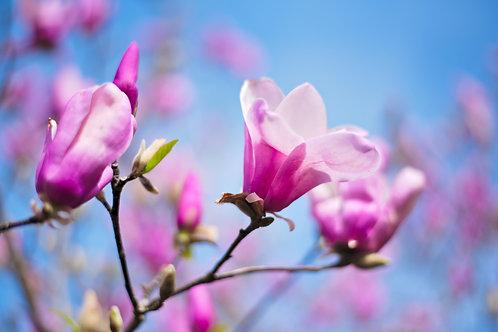 Magnolia & Peony