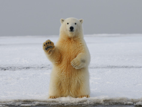 How are polar bears linked to mindfulness?