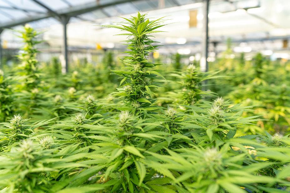 Cannabis Plants Grown Indoors