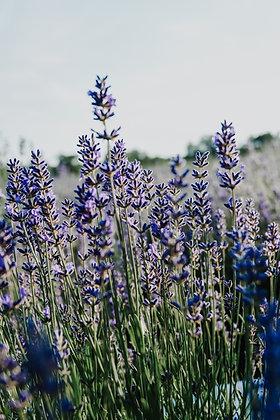 Lavender (Leonardo's) (Bulgarian), Jubilee & Sevtopolis var.