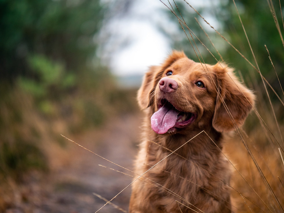 Toller sitting in field
