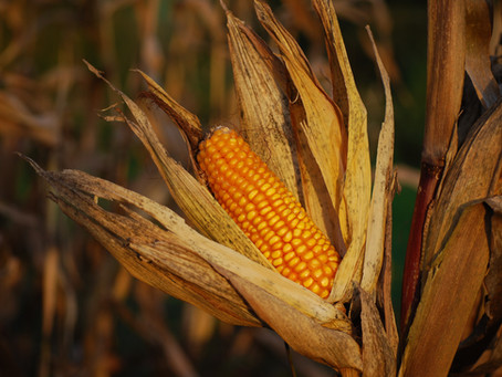 December Corn 22 Year Highs and Lows