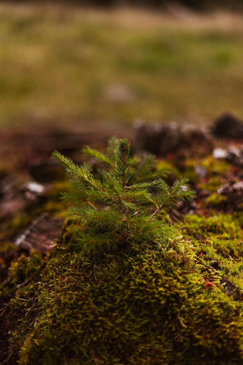 pine needles for healing