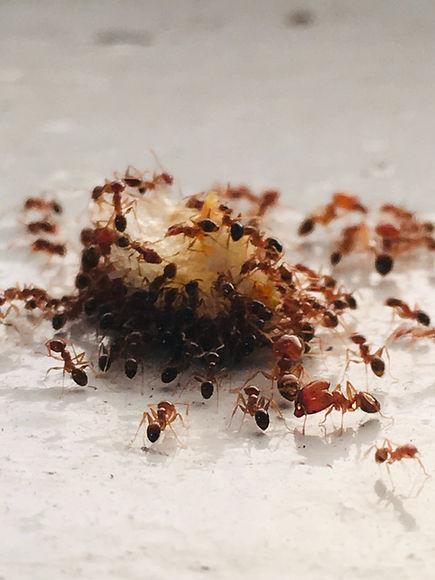 Ants eating food