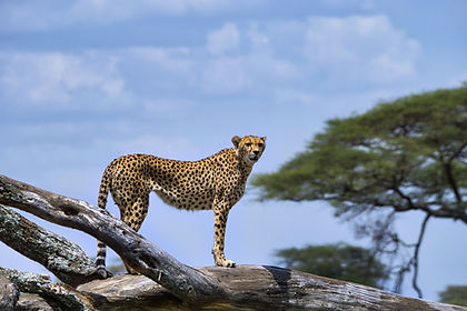 With a guaranteed window seat it is easy to spot the birdlife and tree-climbing lions at Lake Manyara, watch predators on the hunt on the plains of the Serengeti, discover a veritable Noah's Ark of wildlife in the Ngorongoro Crater and watch the elephants of Tarangire during one of those magnificent African sunset.  This 8-day tented-camp safari of Tanzania will be one trip you won't lightly forget.