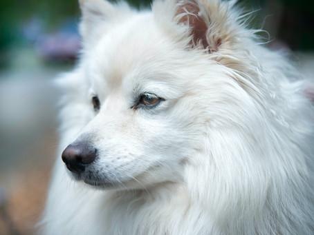 Mengenal Anjing Samoyed, Si Manis Berbulu Putih Layaknya Awan