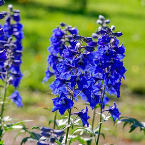 Agastache, Rudbeckia, Gaillardia, and Delphinium: Short Lived Perennials