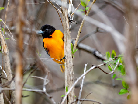 5 Tips for Attracting Orioles this Spring