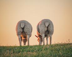 Livestock Herd Scheme 2021
