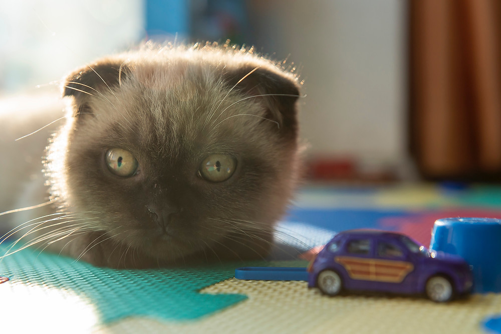 Kitten with toys - TassieCat