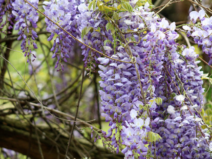 The Best Places for Wisteria Hysteria in London - Kentish Town