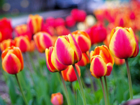The Year of the Tulip... 2018