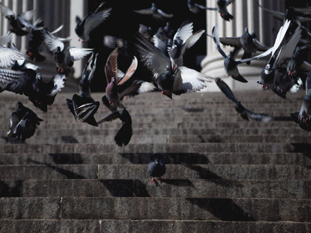 BPCA warns that almost half of feral pigeons carry infectious disease