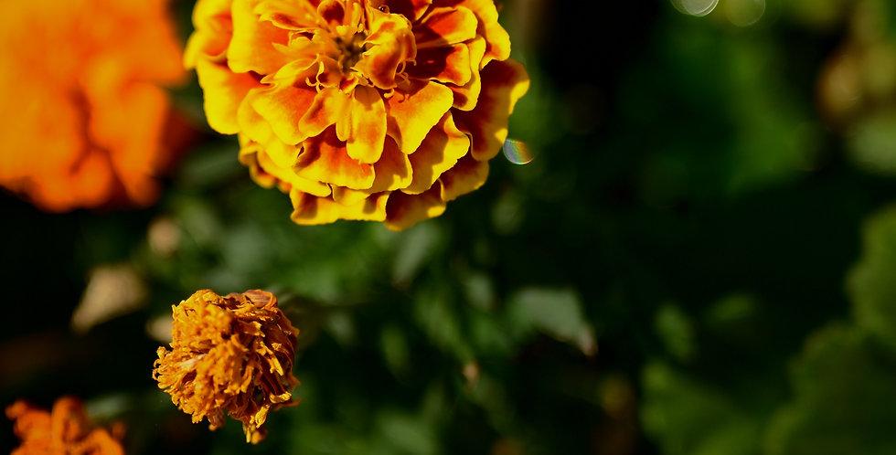 Flowers- Marigolds