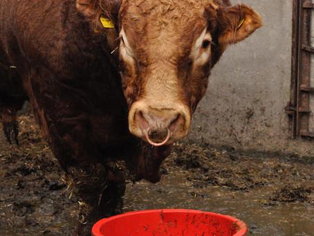 Manfaat Penggunaan Probiotik untuk Ternak Sapi