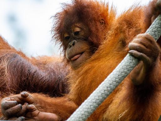 Bukit Merah / Orangutan Island