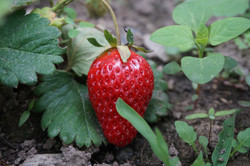 Strawberry Emerging