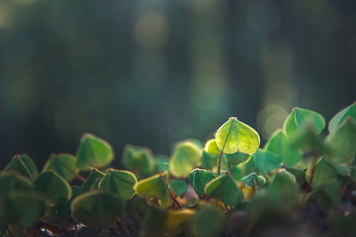 a close up image of green clover. Image by Marek Piwnicki